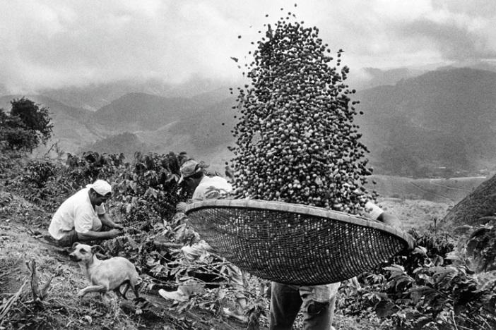 Harvesting Coffee, Fazenda Dutra Brothers, Manhuacu, Brazil (2002) / Sebastião Salgado